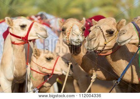 Dubai camel racing club camels waiting to race