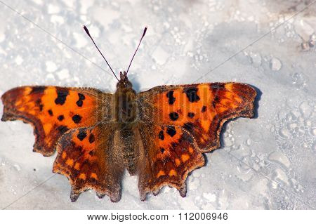 c-print butterfly (Polygonia c-album)
