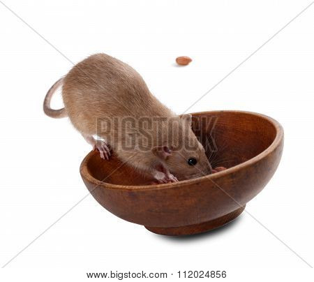 Brown Fancy Rat (rattus Norvegicus) Eating Peanuts From Plate