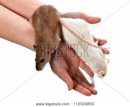 White And Brown Rats On Hands