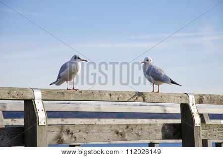 Two Seagulls Resting On The Wooden Pier On A Sunny Day With The Blue Clear Sky With Some Cloud