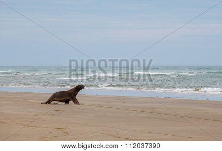 Sea Lion Walking On The Beach, Otago New Zealand