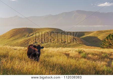 Lone Cow At Kaikoura Peninsula Walkway, New Zealand