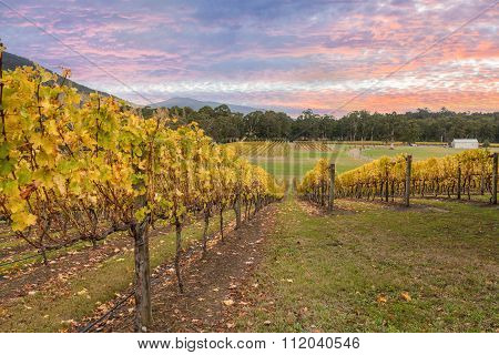 Rovs Of Yellow Leafed Fines At Vineyard In Yarra Valley, Australia