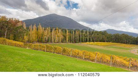 Landscape Of Vineyard Fields In Yarra Valley, Australia In Autumn