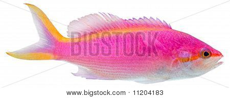 Purple Anthias. Pseudanthias Tuka