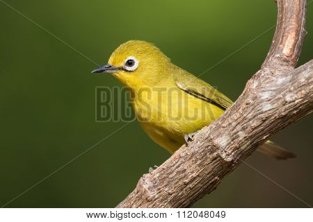 African Yellow White-eye (zosterops Senegalensis) Perched On A Branch