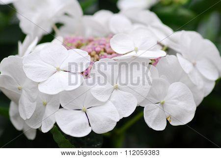 White Pink Hydrangea Hortensia Flower