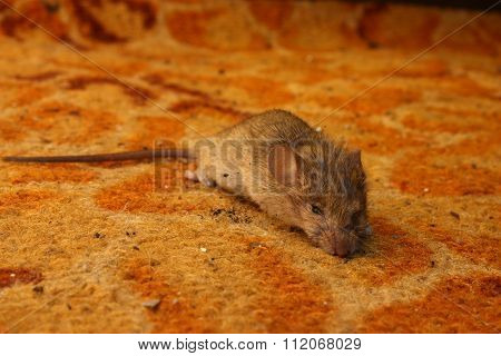 Field mouse on the carpet at home