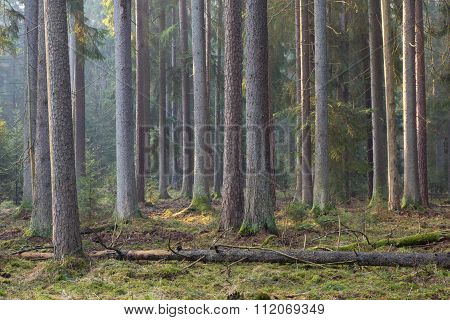 Sunbeam entering rich coniferous forest misty morning with old spruce and pine trees Bialowieza Forest Poland Europe poster