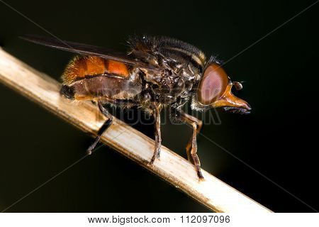 Rhingia campestris hoverfly in profile