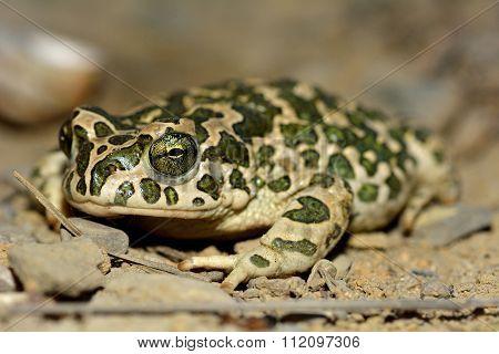 Caspian toad (Pseudepidalea variability) on a brown field site in Baku, Azerbaijan