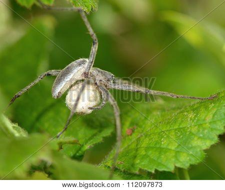 Nursery web spider (Pisaura mirabilis) with egg sac