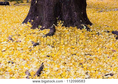 Yellow Ginko leaves fallen on ground