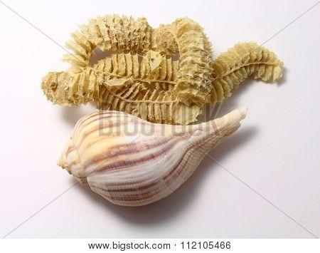 Pear whelk mother and child reunion
