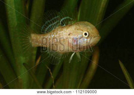 Male Of Chinese Sleeper Fish,  Invasive Species