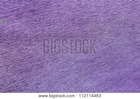 Close-up of purple textured cowhide for abstract background.