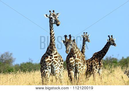 Giraffe In The African Savannah
