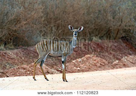 Kudu Antelope In Kenya
