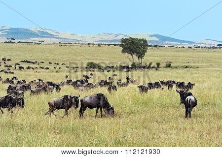 Wildebeest In Masai Mara.