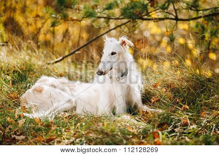 White Russian Borzoi, Russian Hunting dog sit in autumn grass.