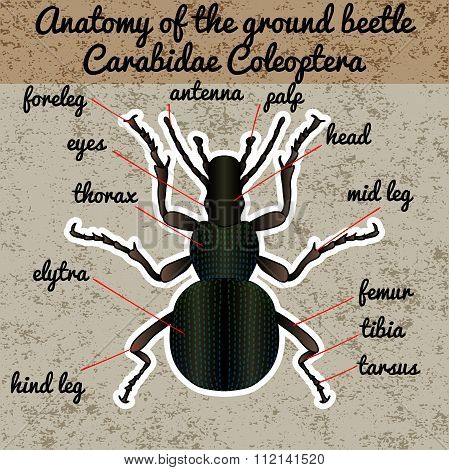 Insect anatomy. Sticker ground beetle bug. Carabidae coleoptera. Sketch of ground beetle. ground bee