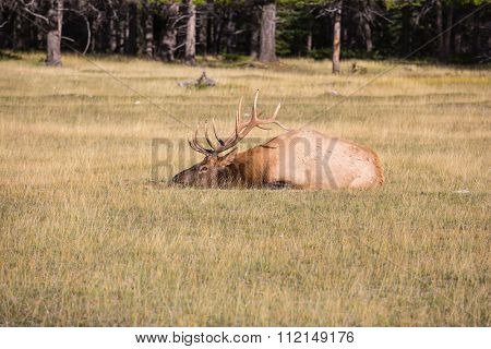 The deer has a rest. Rocky Mountains in Canada. Red deer with branchy horns lies in a grass on the fringe of the forest