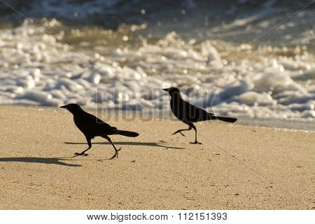 Beach Blackbirds Scurrying