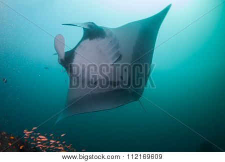 A close up of a oceanic manta ray