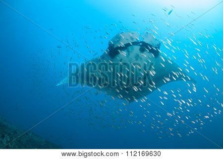 A manta birostris surrounded by fish