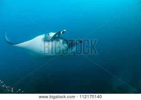 A reef manta in very blue water
