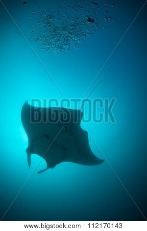 A silhouette of a manta ray