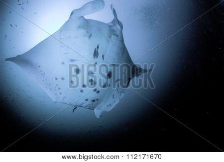 Stylistic manta ray