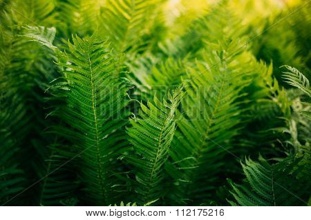 Natual green fern background. Summer season