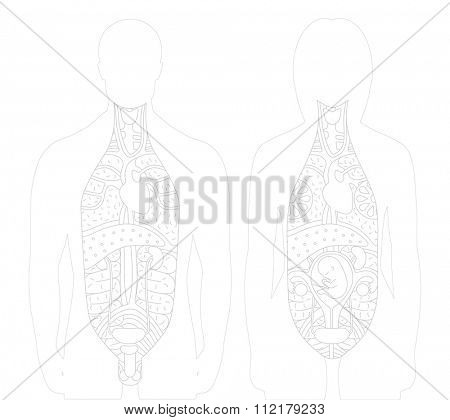 Vector illustration of sected bodies (man and women) with drawn outlined inner organs. This vector supplements the raster anatomical figures.