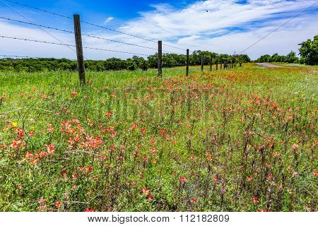 A Fence and Beautiful Field Full of Bright Orange Indian Paintbrush (or Prairie Fire) Wildflowers in Texas. Castilleja foliolosa. poster