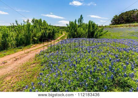 Old Texas Dirt Road In Field Of  Texas Bluebonnet Wildflowers