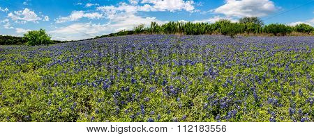 High Res Panorama Of Fields Of Bluebonnets At Mule Shoe Bend, Texas.
