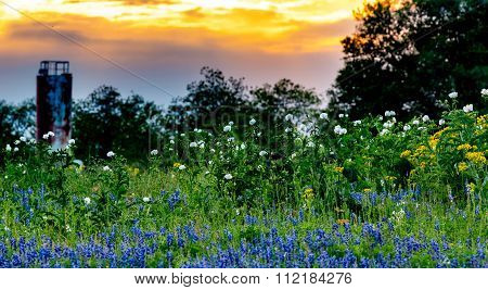 Bluebonnets White Poppies Yellow Cut Leaf Groundsel and other Texas WIldflowers in a Texas Pasture at Sunset. poster