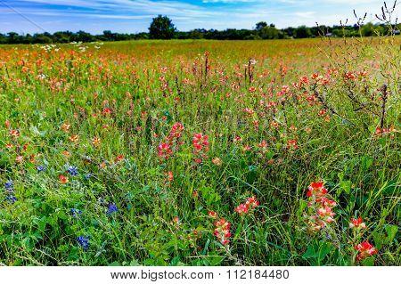 Orange Indian Paintbrush Wildflowers In A Texas Field