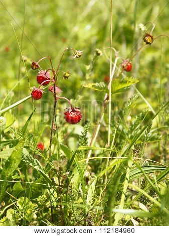 Wild Strawberry In The Meadow