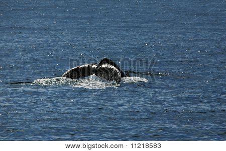 Humpback flukes in Maine