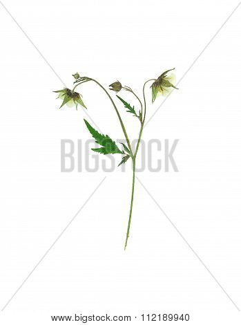 Pressed And Dried Flower On Delicate Geum Rivale, Water Avens Or Avens River On Stem With Green Leav