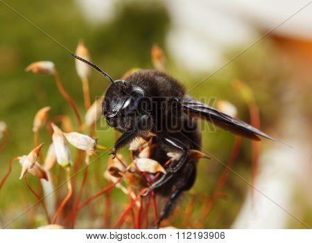 European Carpenter Bee Climb On Moss