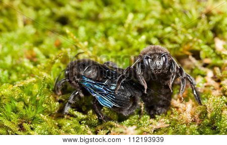 Two Violet Carpenter Bee Sitting In Moss