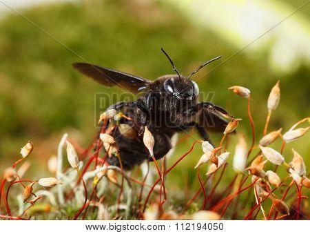 Violet Carpenter Bee On Moss