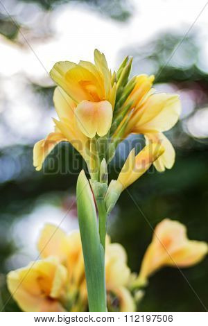 Yellow Canna Flower (canna Indica) In The Garden With Blurred Background