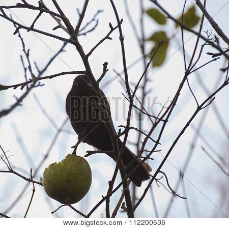 Female Common Blackbird (turdus Merula) Sitting On A Bare Tree With An Apple