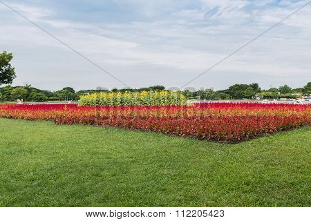 Sunflowers And Red Cockscomb Flower