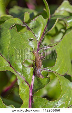 Crop Pest Slug (Slug)